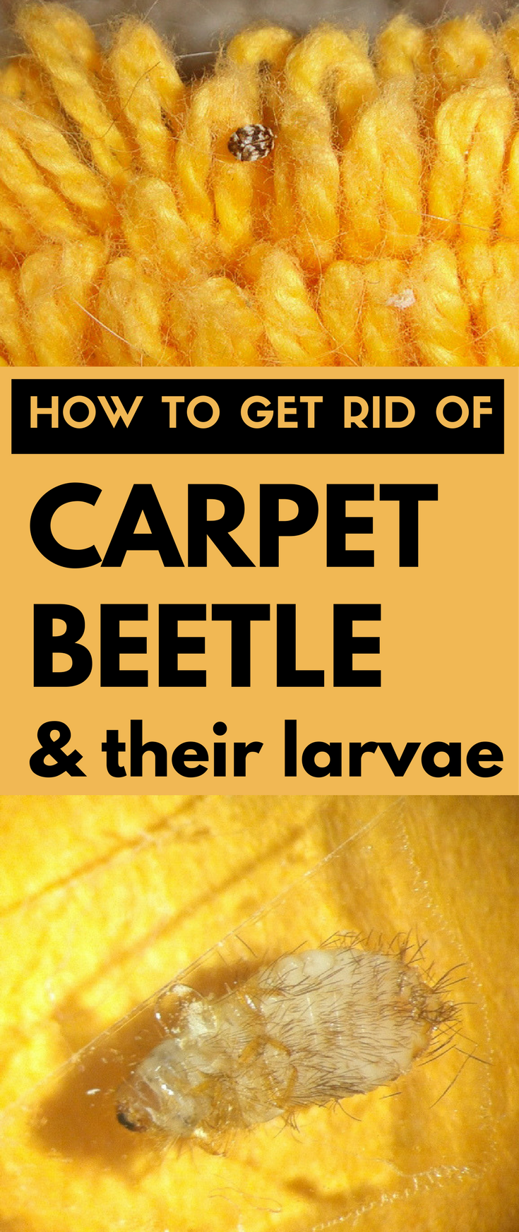 How To Get Rid Of Cat Urine Smell >> How to Get Rid of Carpet Beetle and Their Larvae ...