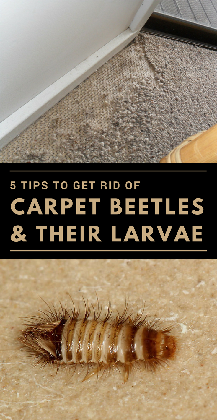 5 Tips To Get Rid Of Carpet Beetles Amp Their Larvae